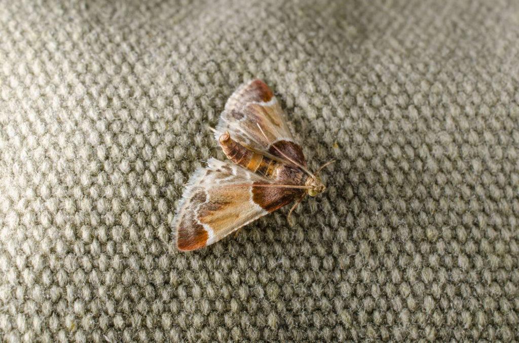 Kleidermotte Falter auf Textilien