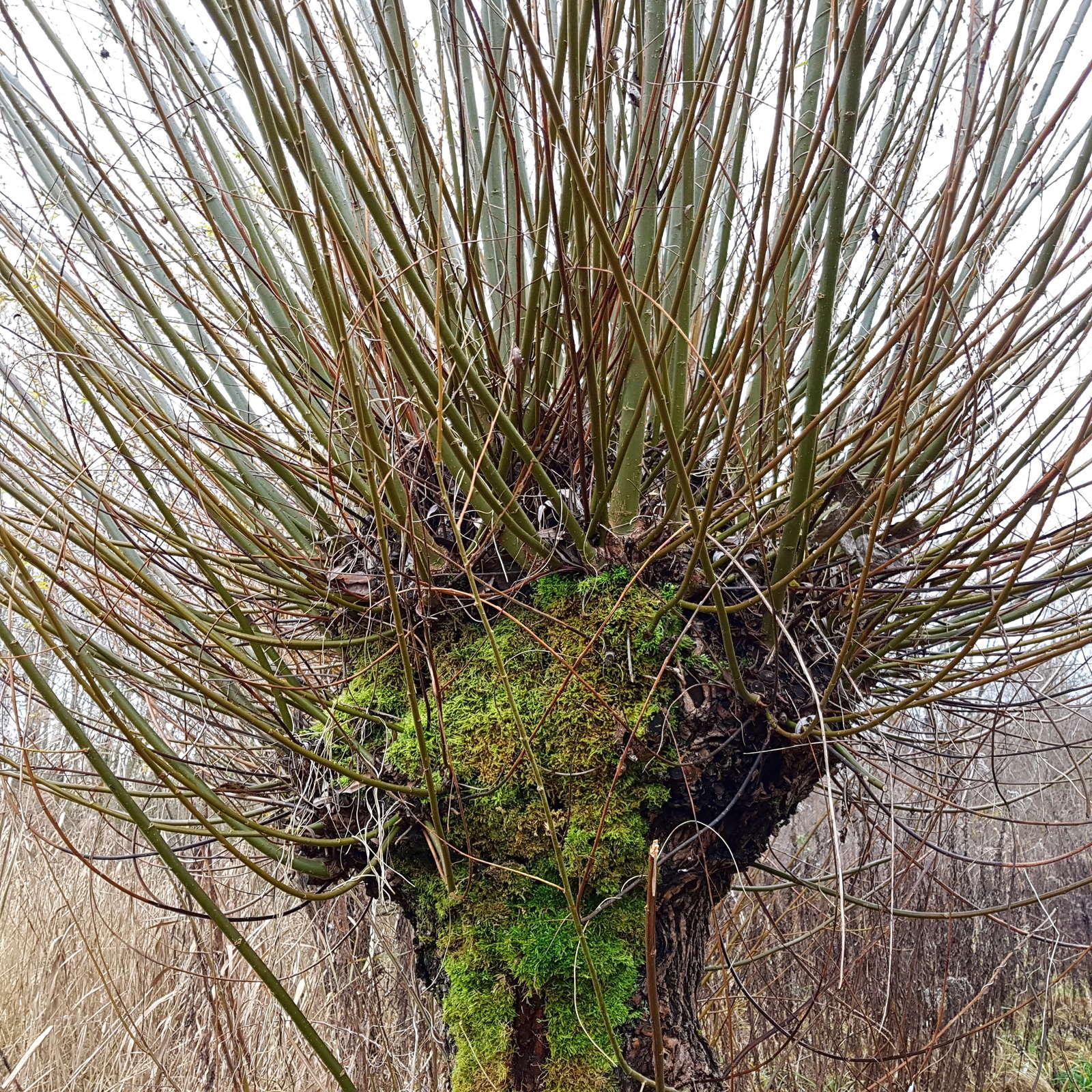 Weiden schneiden: Zeitpunkt, Vorgehen & Experten-Tipps