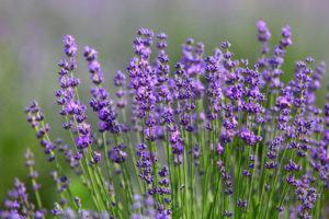 Lavendel Im Garten Mit Blüte