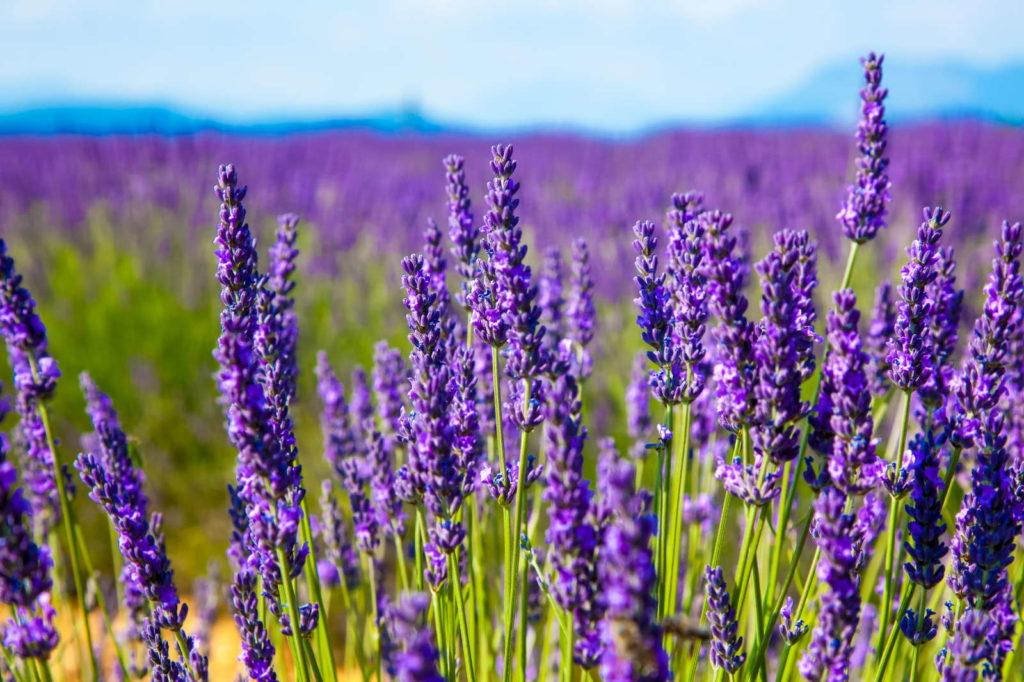 Lavendel Feld