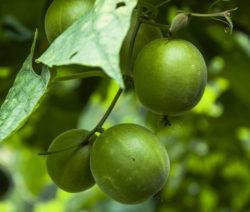 Luo Han Guo Rebe Früchte An Ast