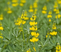 Lupinen Gelbe Blüte Lupinus Luteus