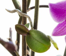 Orchidee Ableger 2