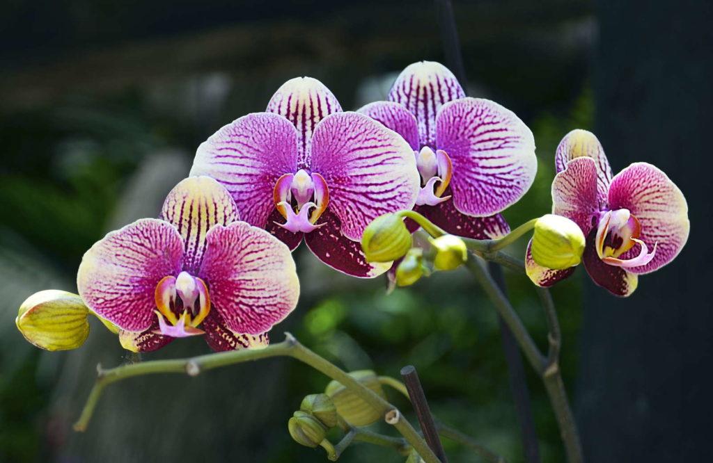 Orchidee Blüte