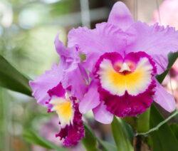 Orchidee Cattleya
