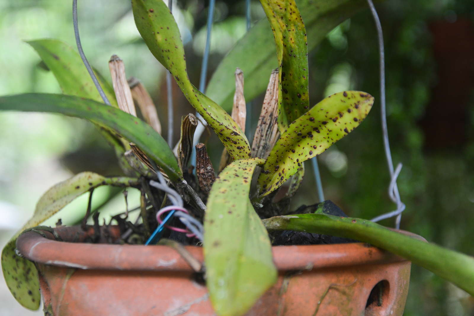 orchideen krankheiten sch dlinge bek mpfen profi tipps. Black Bedroom Furniture Sets. Home Design Ideas