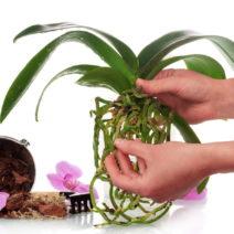 Orchideen Umtopfen Wurzeln Schneiden : orchideen abschneiden wann wie orchideen richtig schneiden plantura ~ A.2002-acura-tl-radio.info Haus und Dekorationen