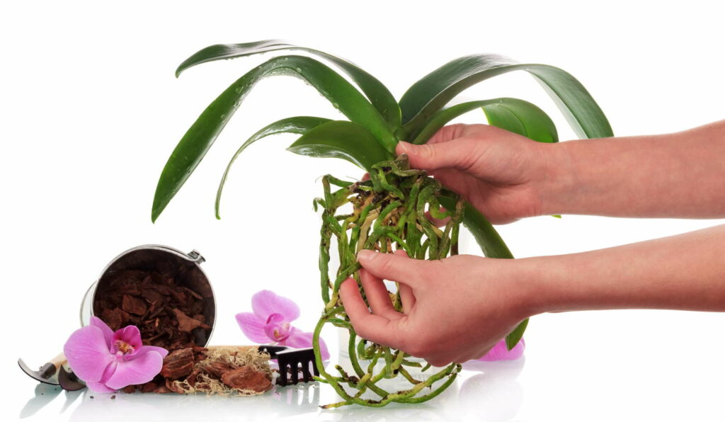 orchideen umtopfen wertvolle tipps tricks plantura. Black Bedroom Furniture Sets. Home Design Ideas