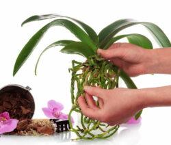 Orchidee Pflanzen