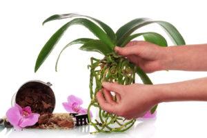 Orchidee Pflanzen Umtopfen