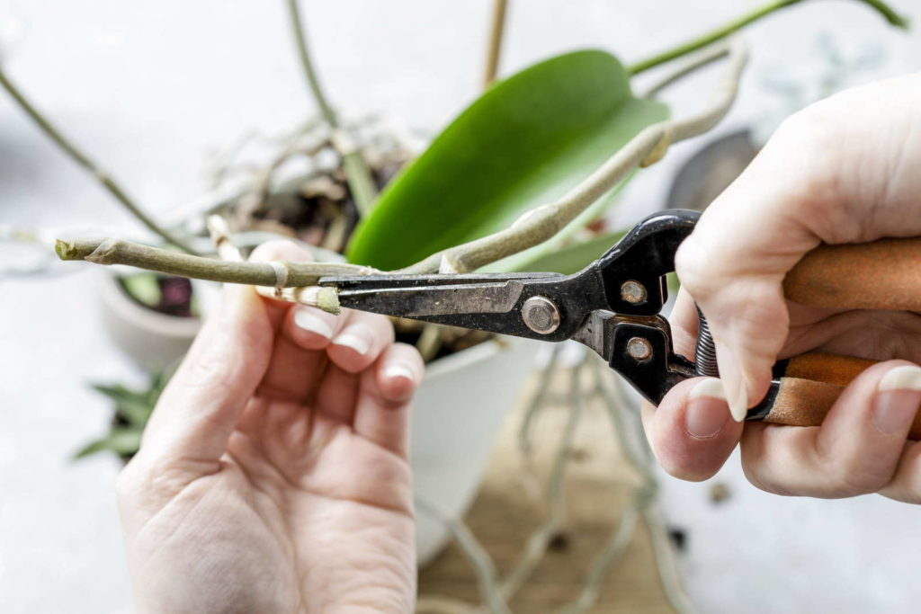 Orchideen schneiden mit Schere