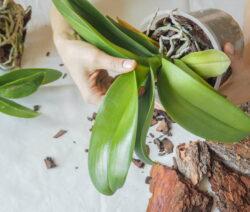 Orchideen Umtopfen 3