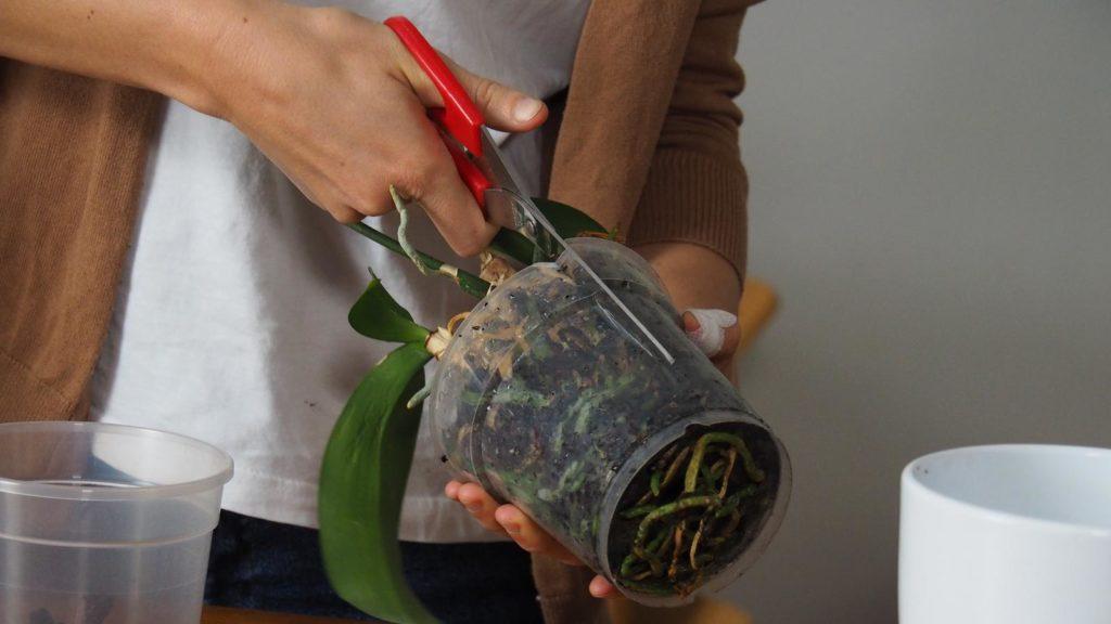 Orchideen umtopfen, Topf aufschneiden
