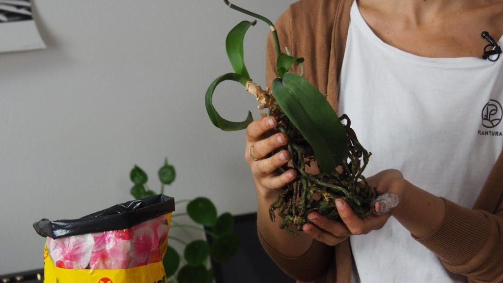 Orchidee umtopfen, vermehren