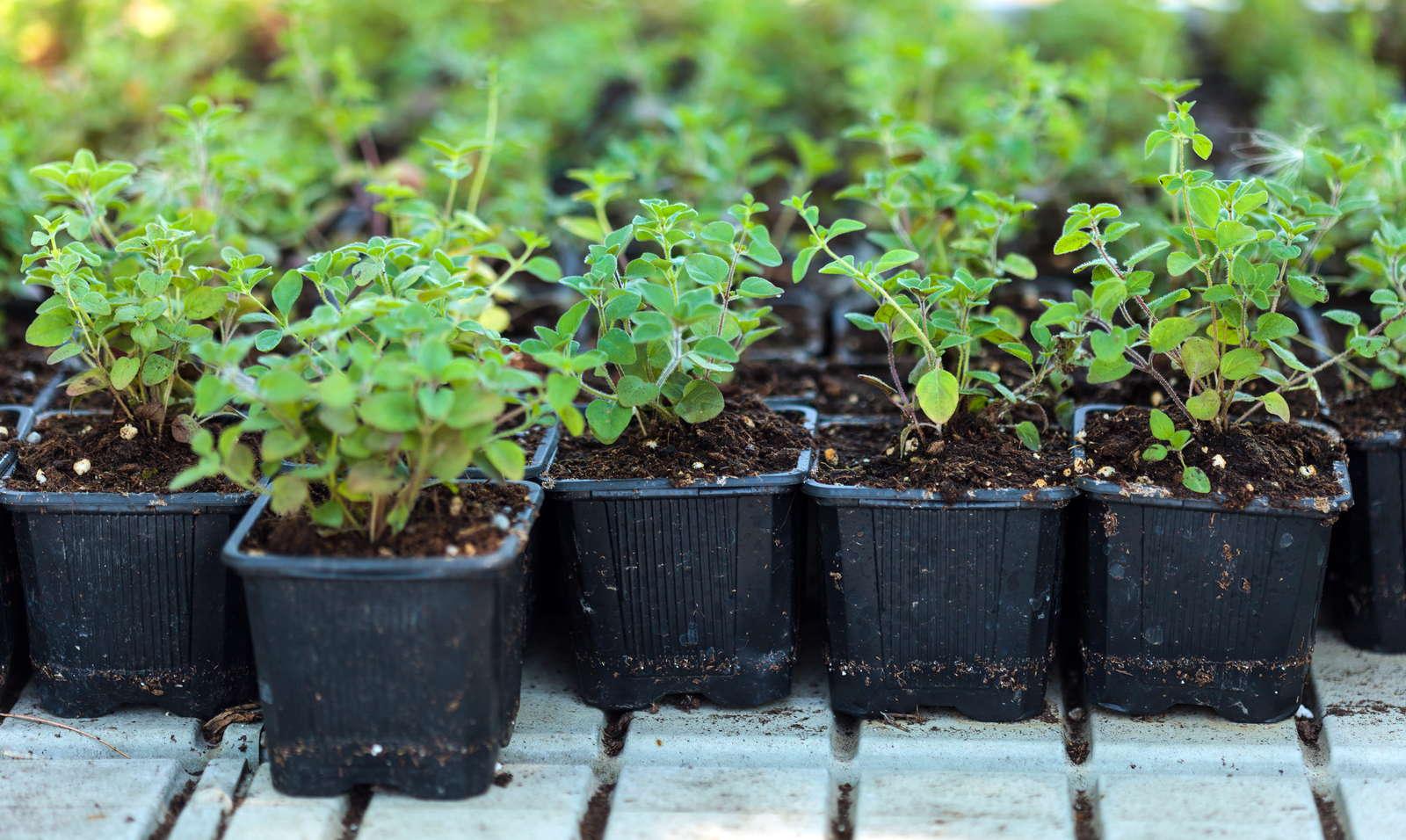 10 Pflanzen Die Man Leicht Durch Stecklinge Vermehren Kann Plantura