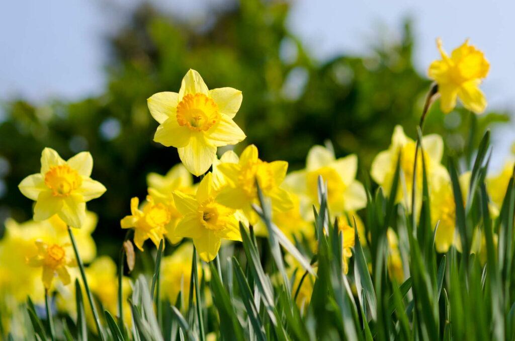 Oster glocken NArzissen gelbe Blüte Garten