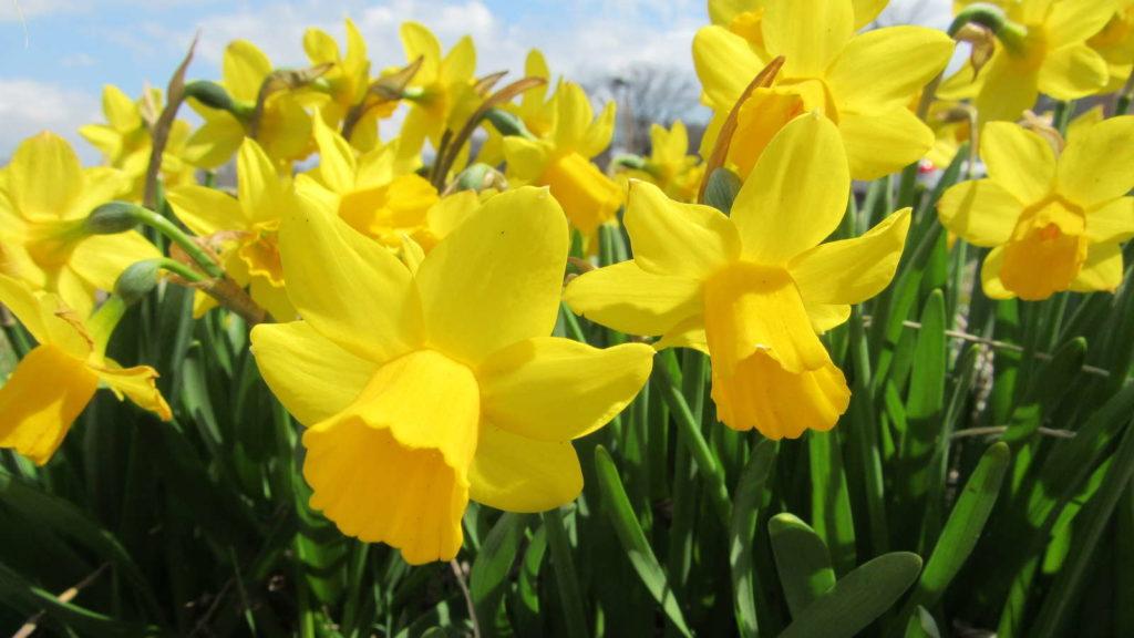 Osterglocke NArzissen gelbe Blüten