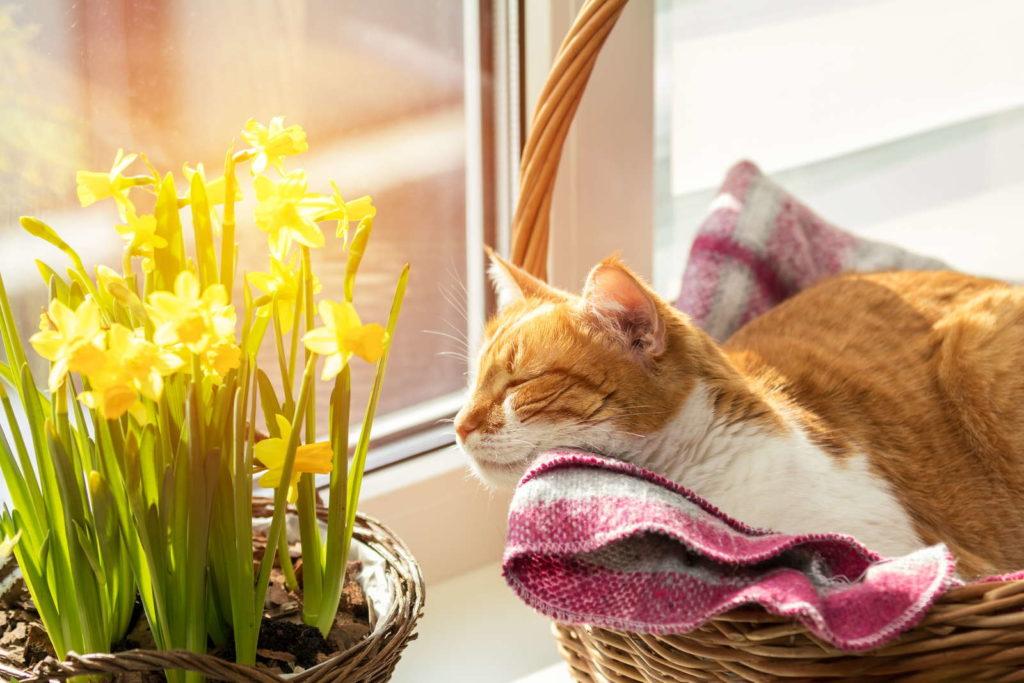 Osterglocke Fensterbrett Katze NArzisse