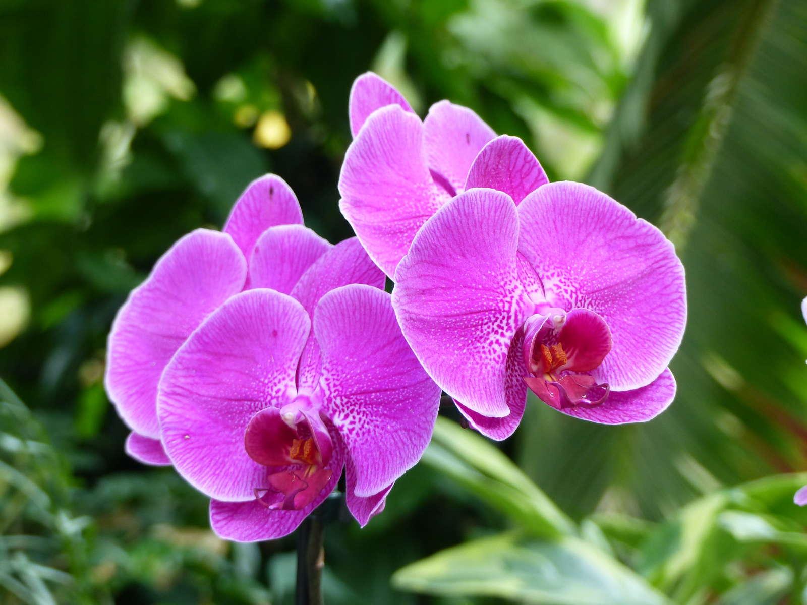 orchideenarten unersch pfliche vielfalt der orchideen plantura. Black Bedroom Furniture Sets. Home Design Ideas
