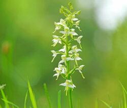 Platanthera Orchidee Waldhyazynthe