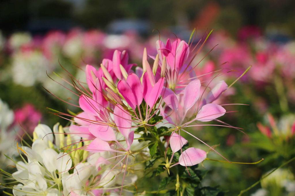Spinnenblume rosa Blüten