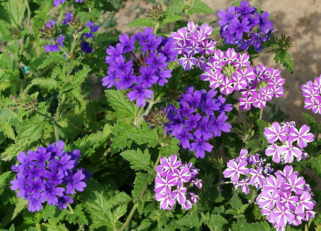 Verbene violette und rosa Blüten