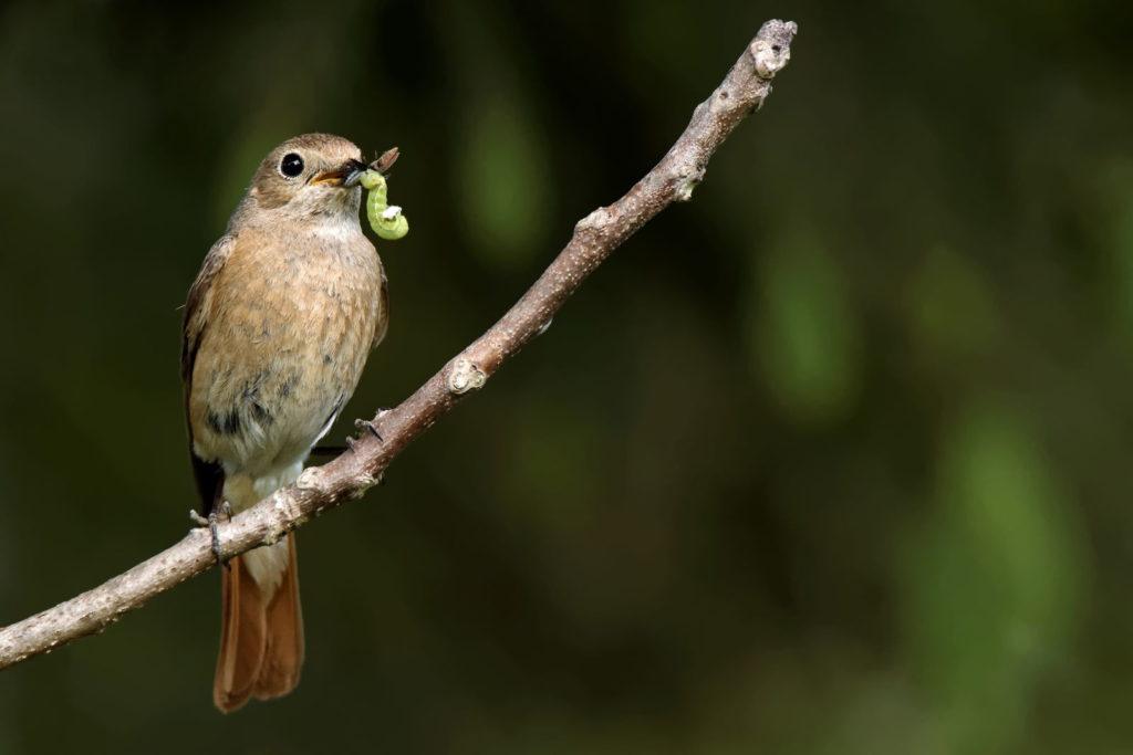 Vogel auf einem Ast mit Buchsbaumzünsler im Schnabel