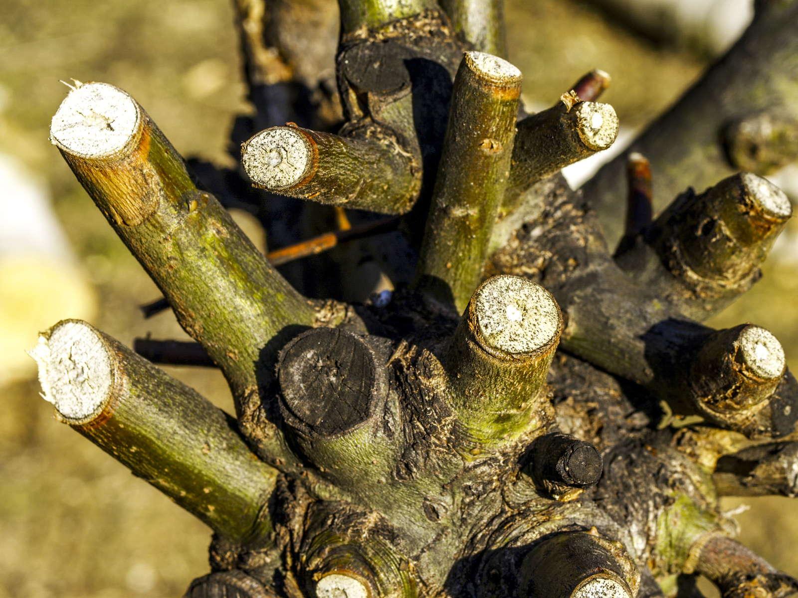 Weiden Schneiden Zeitpunkt Vorgehen Experten Tipps Plantura