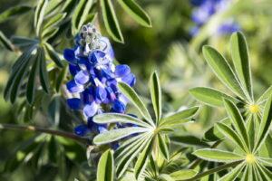 Wilde Lupine Blaue Blüte