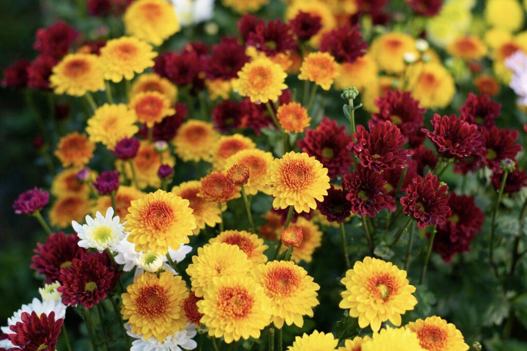 bunte Chrysanthemen