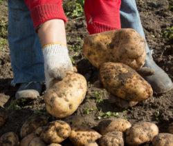 G1-Kartoffeln In Der Hand