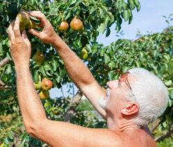 G1-Mann Pflückt Äpfel