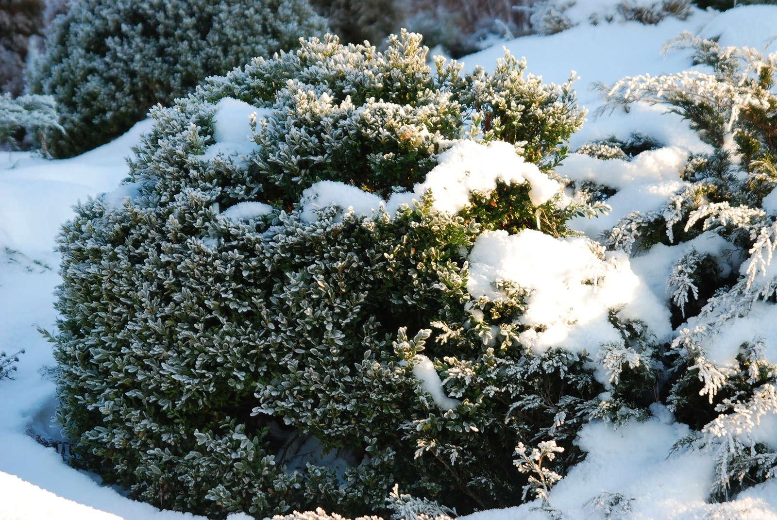 Erstaunlich Buchsbaum Schnee Winter Buchkugel Im Garten