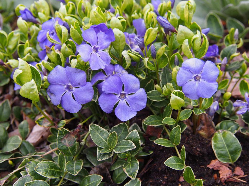 Kleinblättriges Immergrün violette Blüten
