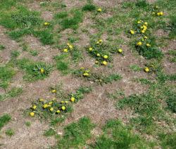Rasen Düngen Trockener Boden Löwenzahn Unkraut