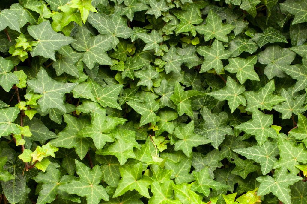 Efeu Sichtschutz Kletterpflanze