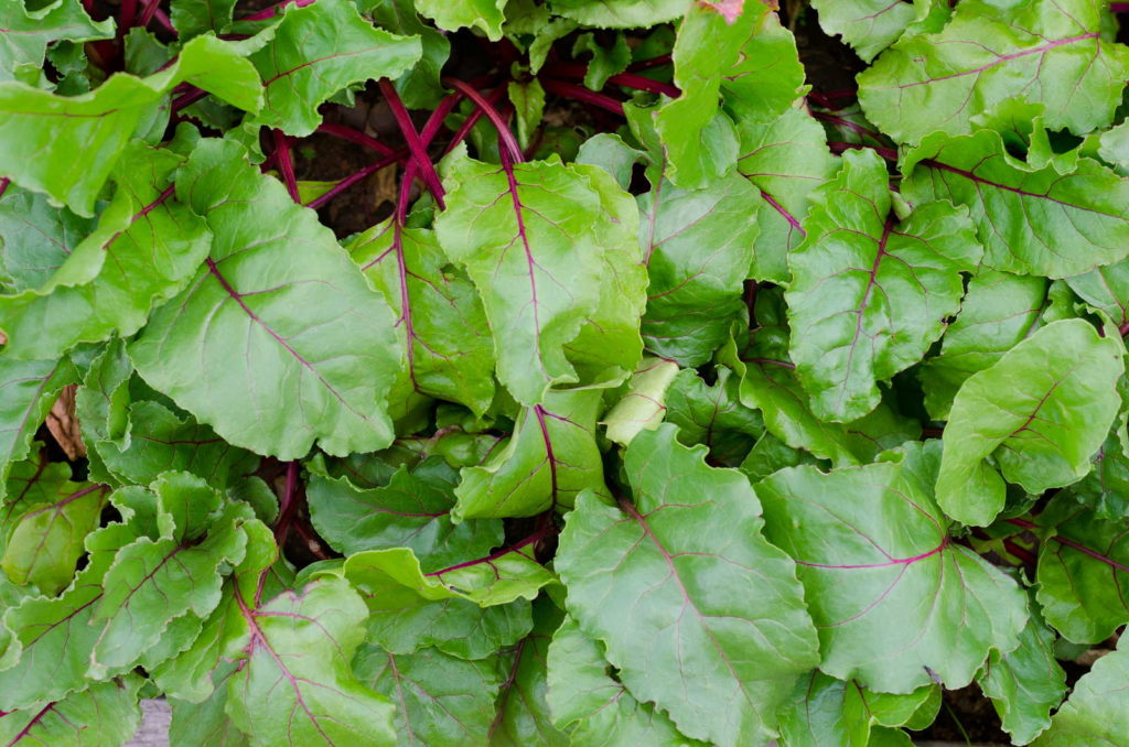 Verzehrbare Blätter Rote Bete