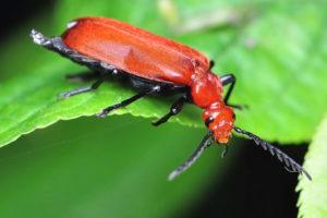 Feuerkäfer Käfer Auf Blatt Pyrochroa Serraticornis