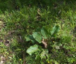 Rasen Sauerampfer Saurer Boden