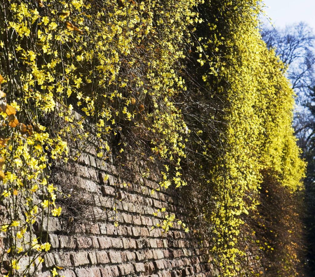 Winterjasmin An Steinmauer immergrüne pflanze