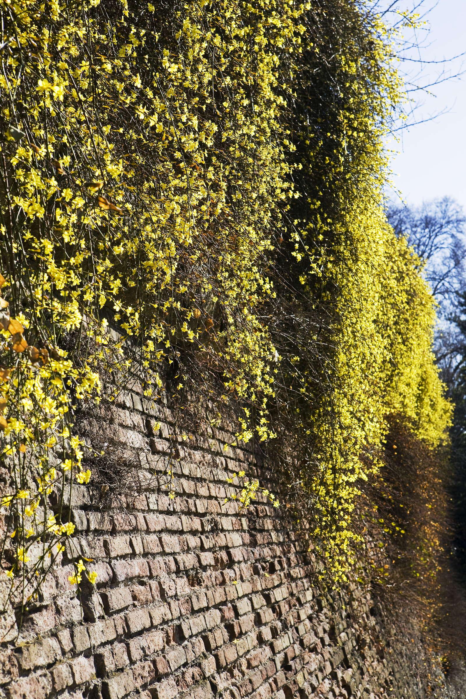 Außergewöhnlich Immergrüne Kletterpflanzen: Unsere Top 7 für den idealen @OV_28
