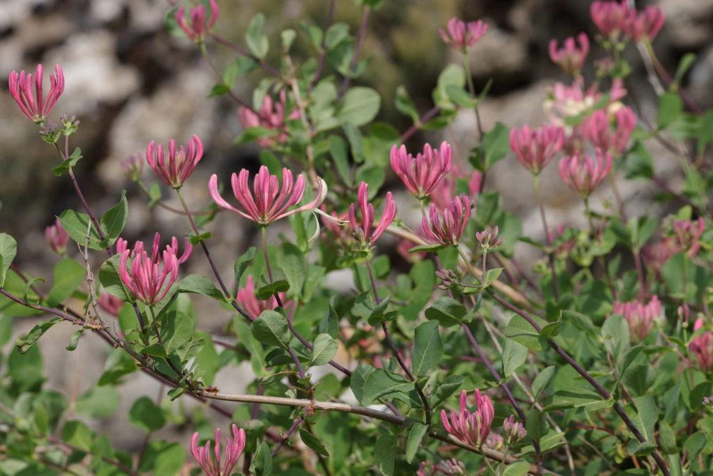 Geißblatt immergrüne Pflanze rosa Blüten