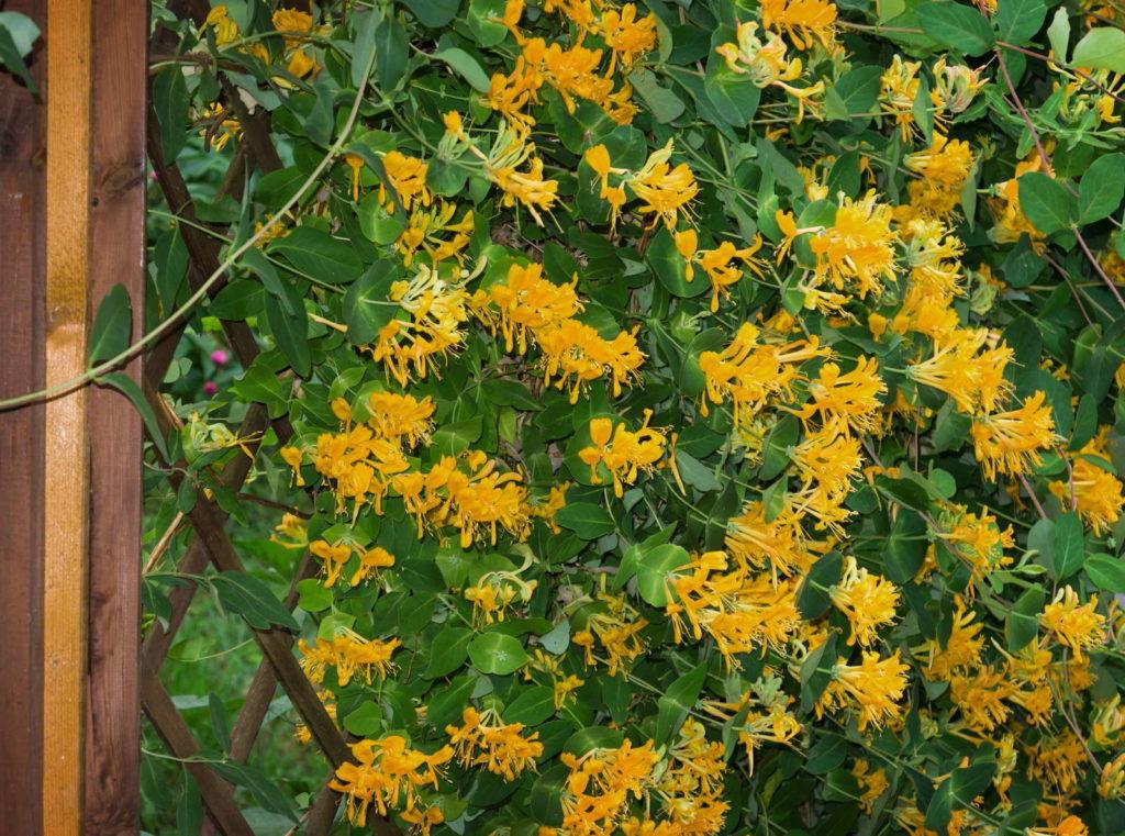 Geißblatt Zaun Rankhilfe gelbe Blüten