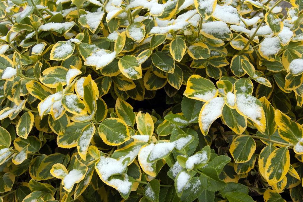 Kriechspindel mit schnee bedeckt winter