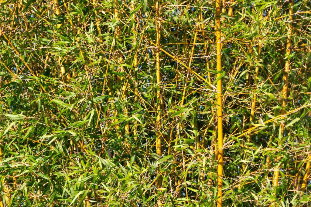 Bambus immergrüne pflanze