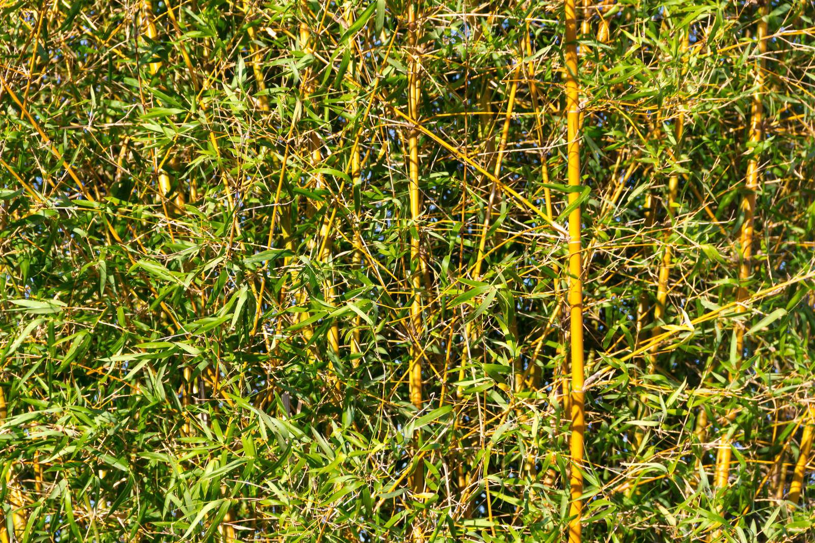 Bambus Eignet Sich Besonders Als Dekorativer Sichtschutz Oder Begrenzung  Des Gartenteichs [Foto: Gabriela Bertolini/ Shutterstock.com]