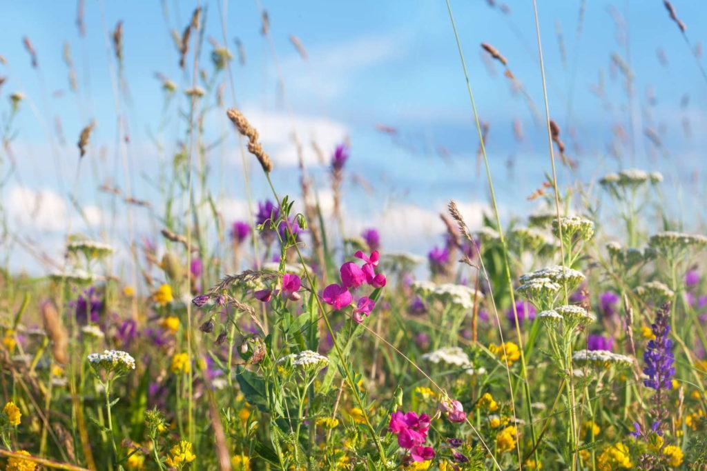 Blumen- und Kräuterwiese als Alternative zum Rasen