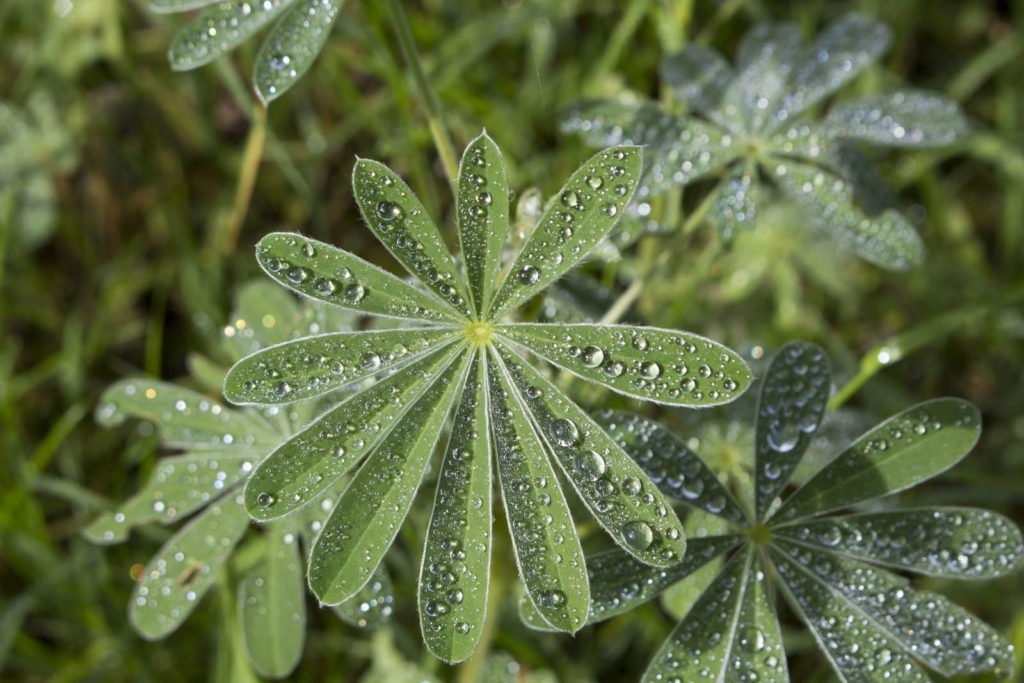 Wassertropfen auf Lupinen-Blättern