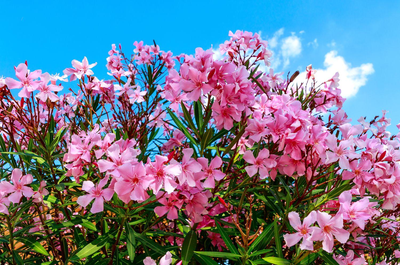 pinker Oleander