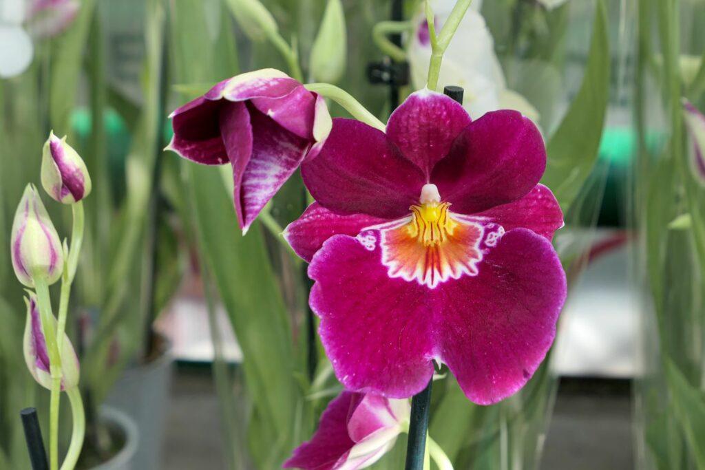 Miltonia-Orchidee